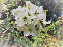 blomstra white Royaltyfri Foto