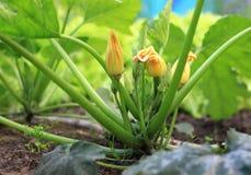blomstra zucchini Royaltyfri Bild