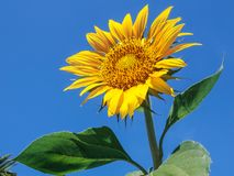 blomstrad fullt solros fotografering för bildbyråer