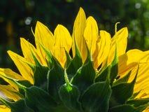 blomstrad fullt solros royaltyfri bild