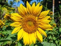 blomstrad fullt solros arkivbilder