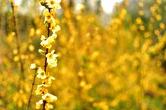 Blomstrad lös gul blomma med full suddig bakgrund arkivfoto