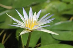 Blomstrad lotusblommablomma på sjön arkivfoto