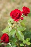 Blomstrad röd ros Arkivfoton