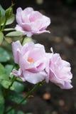 Blomstrad rosa färgros Arkivbilder