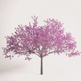 blomstrad sakura fjädertree Royaltyfri Bild