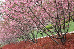 Blomstrande körsbär Royaltyfri Fotografi