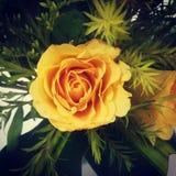 Blomstrande ros royaltyfri foto