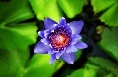 Blomstrar blå lotusblomma för closeupen att blomma i sjöbakgrund Royaltyfria Bilder