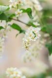 blomstrar Cherryblommor Arkivbilder