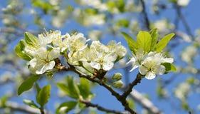 blomstrar Cherryblommor Royaltyfri Fotografi