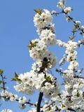 blomstrar Cherryet Fotografering för Bildbyråer