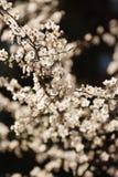 blomstrar Cherryet royaltyfria bilder