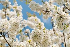 blomstrar Cherryet Arkivfoton