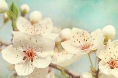 blomstrar Cherryet Royaltyfri Fotografi