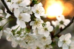 blomstrar Cherryet Arkivbild