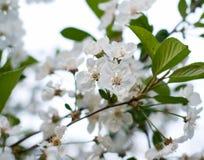 blomstrar Cherryet Royaltyfri Bild