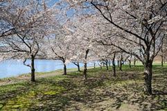 blomstrar Cherryet Royaltyfri Foto