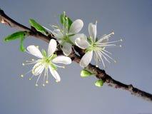 blomstrar Cherryet första Royaltyfri Fotografi