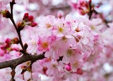 blomstrar Cherryet sakura Arkivfoton