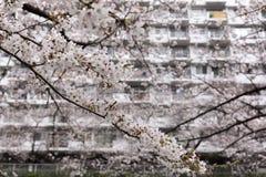 blomstrar Cherryet tokyo royaltyfri foto