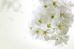 blomstrar Cherryinbjudan Arkivbild
