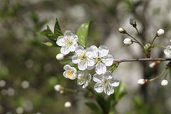 blomstrar Cherryparken Arkivfoton