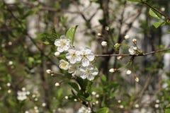 blomstrar Cherryparken Arkivbild
