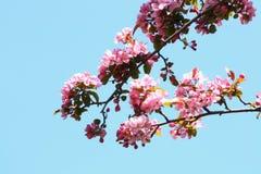 blomstrar Cherrytreen fotografering för bildbyråer