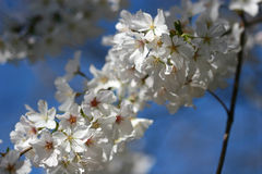 blomstrar Cherrytreen Arkivfoton