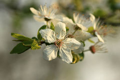 blomstrar Cherrywhite Arkivfoto