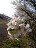 blomstrar Cherrywhite Arkivfoton