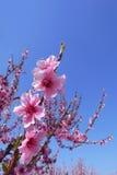 blomstrar den blåa Cherryskyen arkivbild