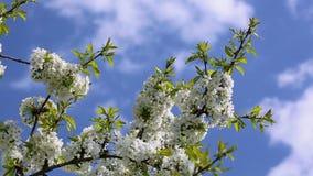 blomstrar den blåa Cherryskyen stock video