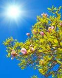 blomstrar den kinesiska magnoliafjädertreen Arkivfoton