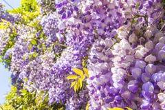 Blomstrar den purpurfärgade wisteriaen för blom- bakgrund i parkera Royaltyfria Foton