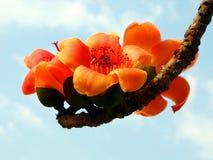 blomstrar den röda silk treen för bomull arkivfoto