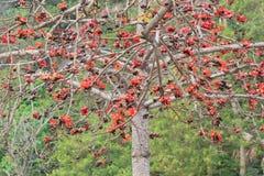blomstrar den röda silk treen för bomull royaltyfri foto