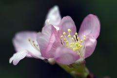 blomstrar den sakura fjädern Royaltyfria Foton