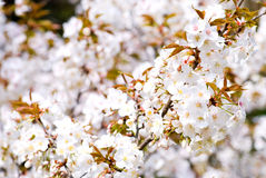blomstrar det wild Cherryet Royaltyfria Bilder