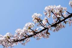 blomstrar det wild Cherryet Royaltyfria Foton