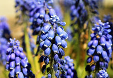 blomstrar druvahyacintet royaltyfria bilder