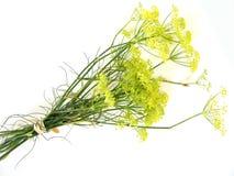 blomstrar fennel Arkivfoton