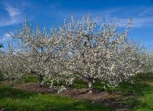 blomstrar fruktträdgården Arkivbilder
