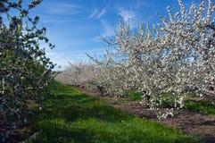 blomstrar fruktträdgården Royaltyfri Bild