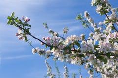 blomstrar fruktträdgården Arkivbild