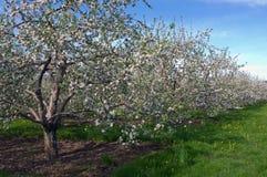 blomstrar fruktträdgården Royaltyfri Foto