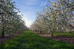 blomstrar fruktträdgården Fotografering för Bildbyråer