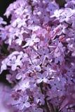 blomstrar lilan Royaltyfri Fotografi