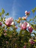 blomstrar magnoliapink Arkivfoto